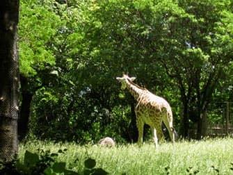 Giraffe al Bronx Zoo NYC